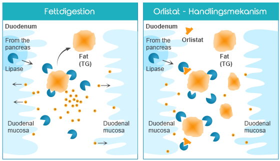 xenical-orlistat-handlingsmekanism